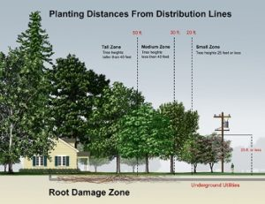How far to plant a tree from your power distribution lines